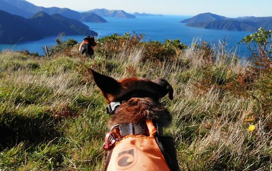 Conservation dogs Marlborough Sounds